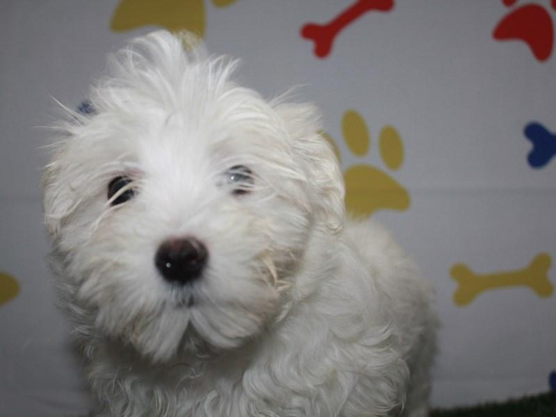 Maltese-Male-WHITE-2957979-Pet City Houston