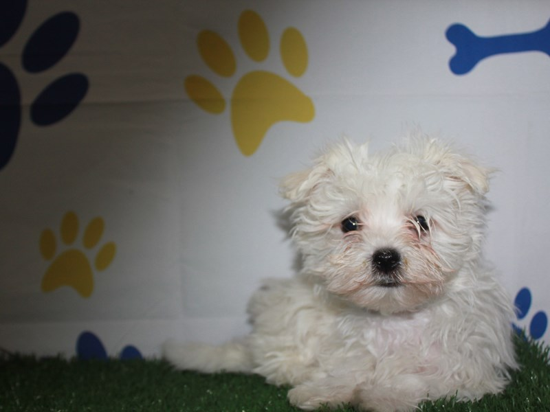 Maltese-Male-White-2956807-Pet City Houston