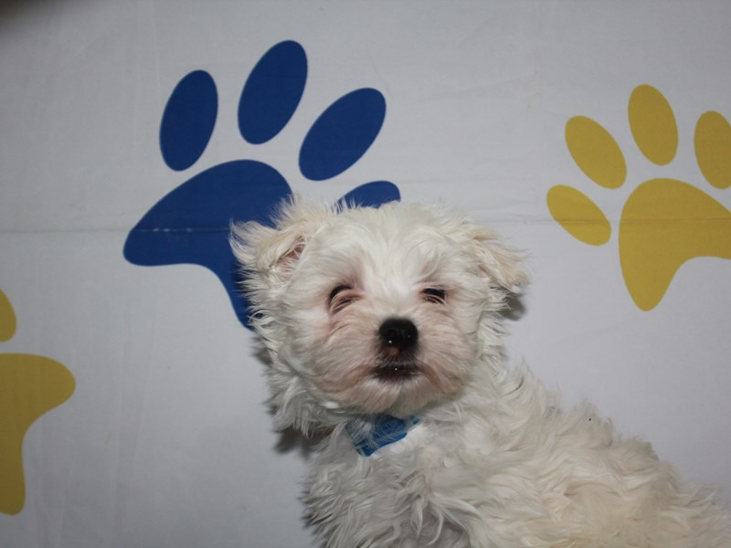 Maltese-Male-White-2956804-Pet City Houston