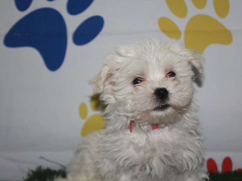 Maltese-Female-White-2956808-Pet City Houston