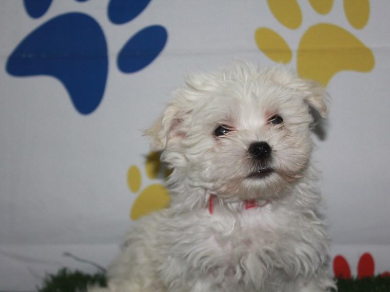 Maltese-Female-White-2956808-Pet City Houston