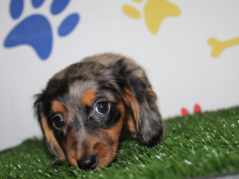 Dachshund-Female-BLK SLV PIE DPL TAN MKGS-2965316-Pet City Houston