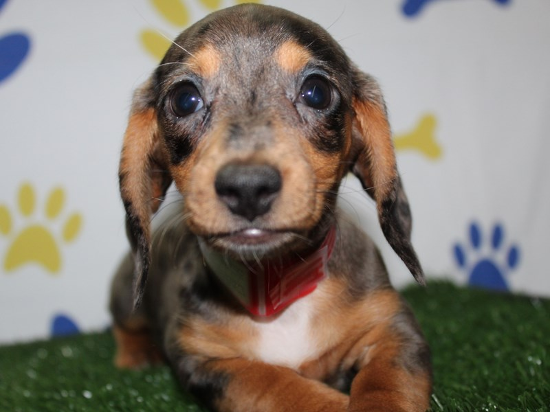Dachshund-Female-BLK SLV DPL TAN MKGS-2965322-Pet City Houston