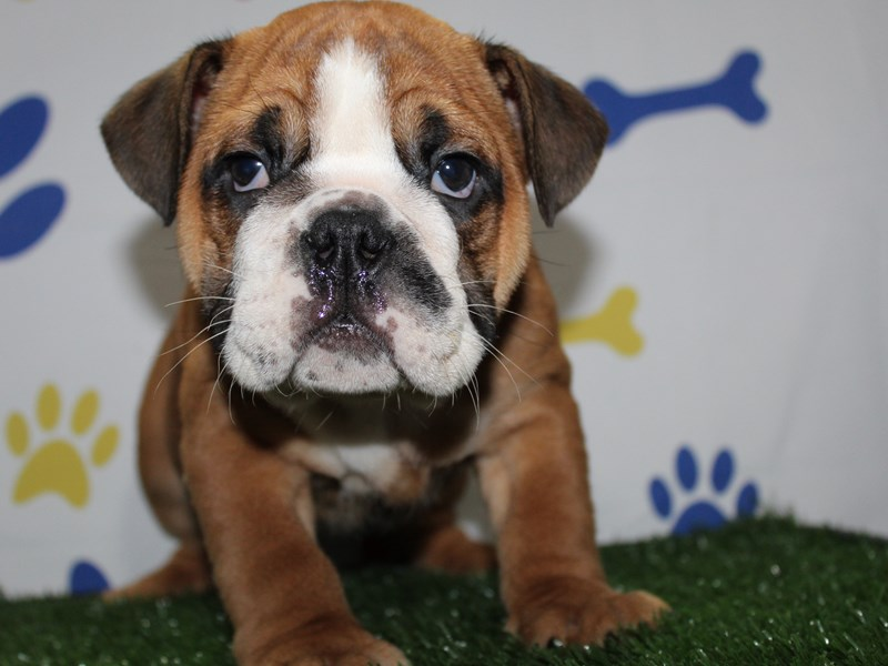 English Bulldog-Male-FAWN/ WHT-2966277-Pet City Houston