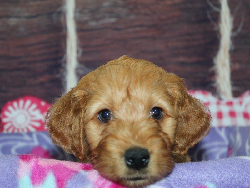Mini Irish Doodle-Male-Red-2973827-Pet City Houston