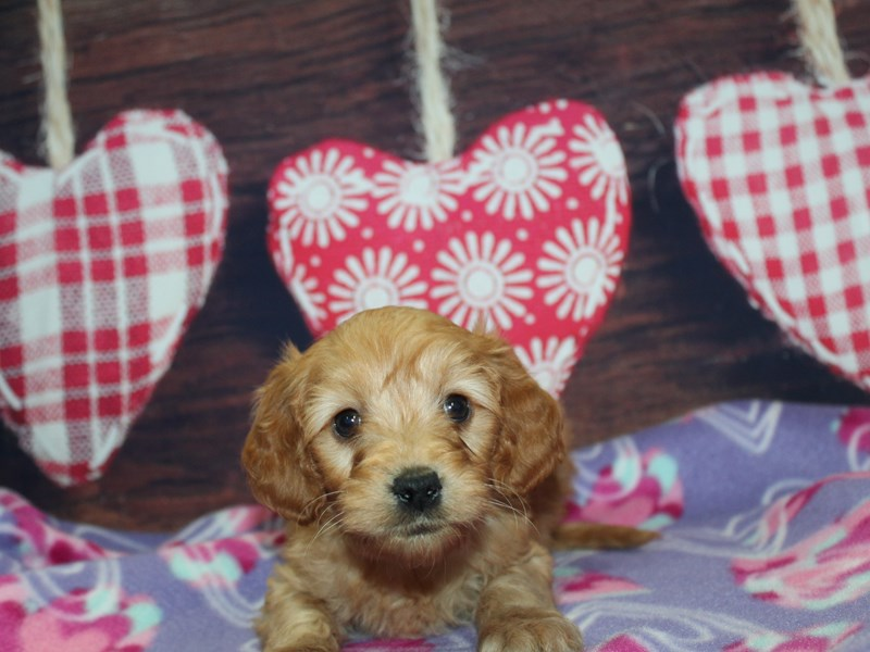 Mini Irish Doodle-Male-Red-2973824-Pet City Houston