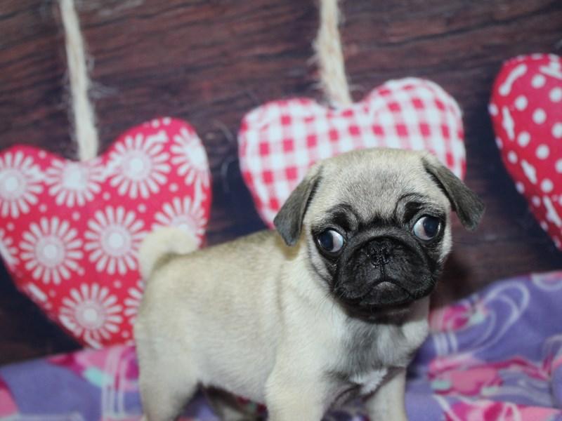 Pug-Female-Fawn-2974058-Pet City Houston