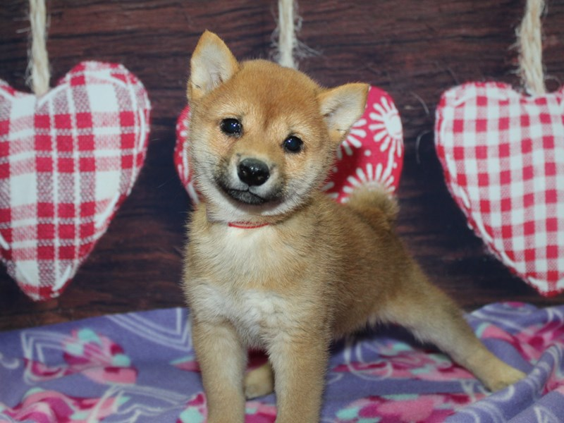 Shiba Inu-Female-Red-2973474-Pet City Houston