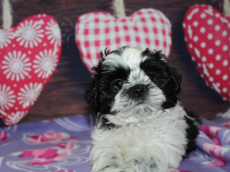 Shih Tzu-Male-Blk / Wht-2974062-Pet City Houston