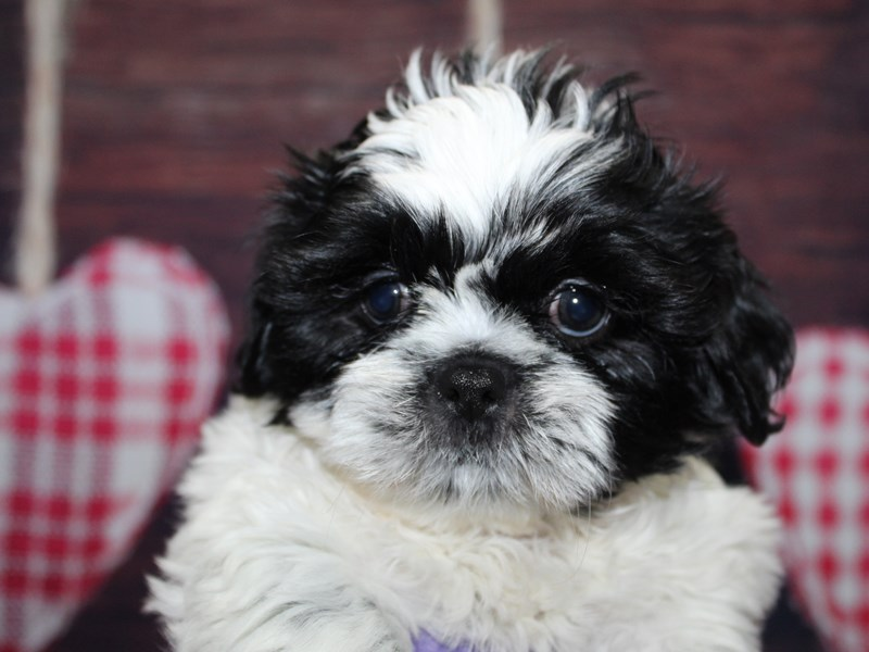 Shih Tzu-Female-Blk / Wht-2974067-Pet City Houston