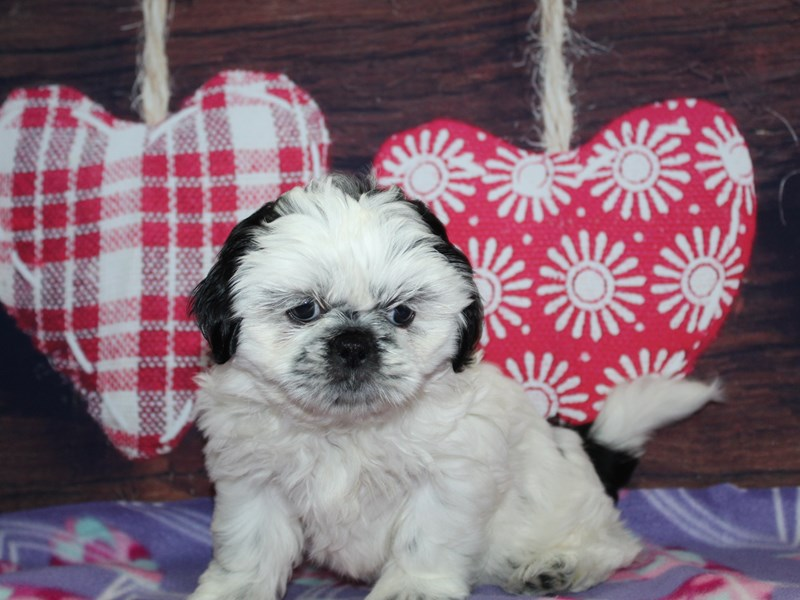 Shih Tzu-Female-Blk / Wht-2974065-Pet City Houston
