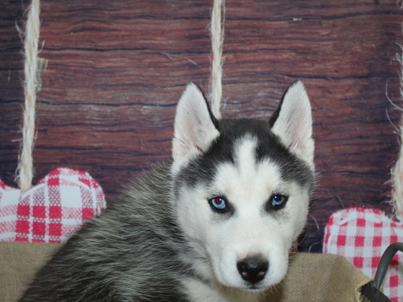 Siberian Husky-Male-BLK/WHT-2973829-Pet City Houston