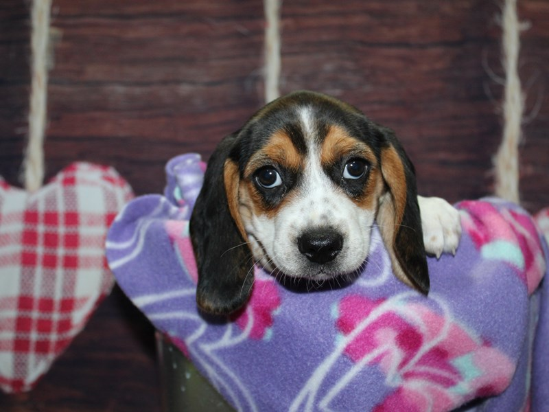 Beagle-Female-TRI-2973847-Pet City Houston