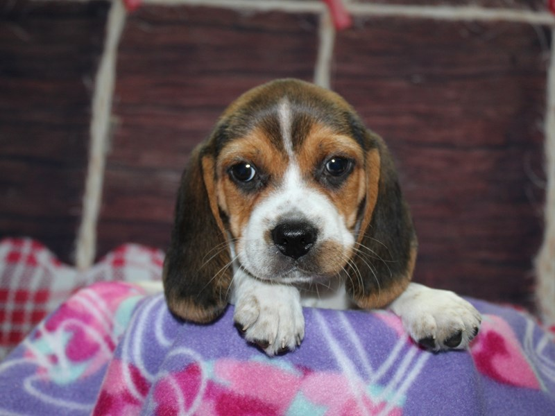 Beagle-Male-TRI-2973855-Pet City Houston