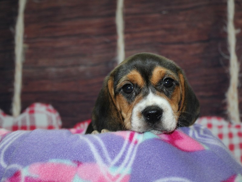 Beagle-Female-TRI-2973850-Pet City Houston