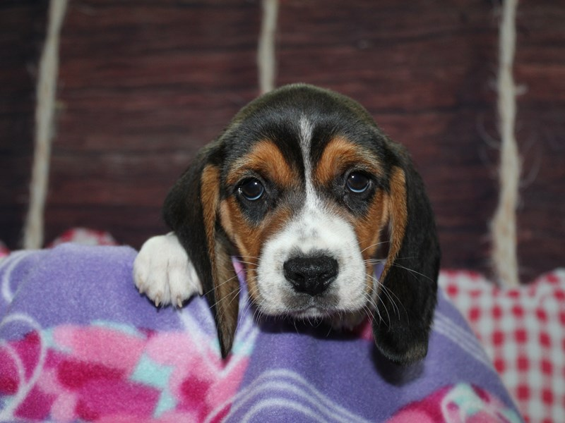Beagle-Male-TRI-2973848-Pet City Houston