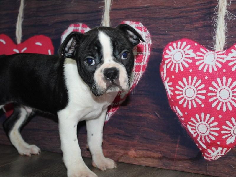 Boston Terrier-Male-BLACK & WHITE-2972184-Pet City Houston