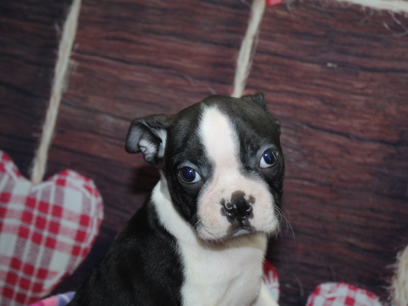 Boston Terrier-Male-BLACK & WHITE-2972205-Pet City Houston