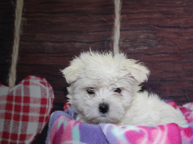 Maltese-Female-WHITE-2973839-Pet City Houston