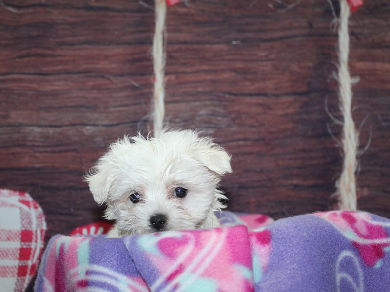 Maltese-Female-WHITE-2973843-Pet City Houston