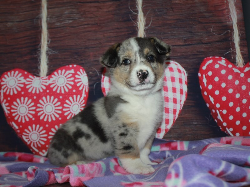 Miniature Australian Shepherd-Male-Blue Merle-2982661-Pet City Houston