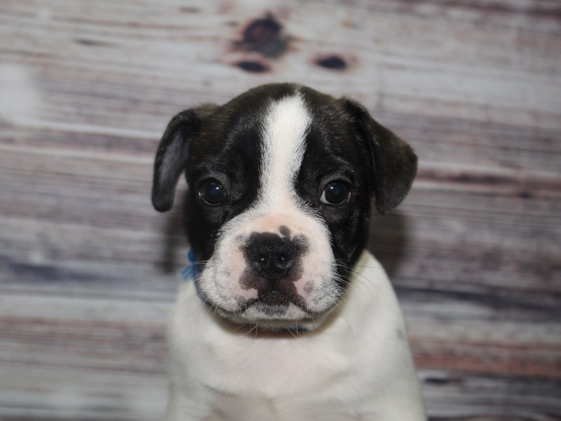 French Bulldog-Male-BLK PIEBALD-2877788-Pet City Houston