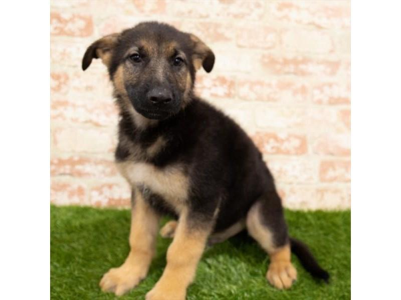 German Shepherd Dog-Male-Black / Tan-2955284-Pet City Houston
