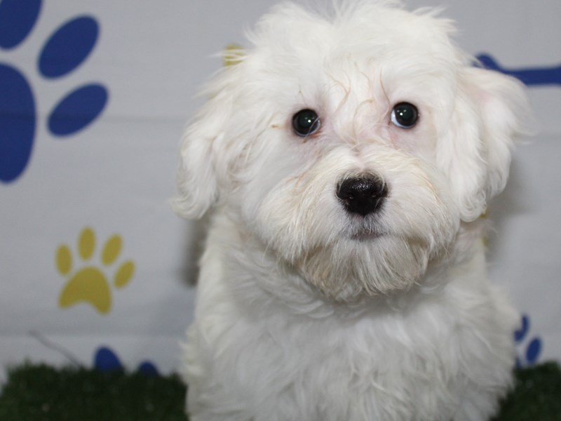 Maltese-Male-WHITE-2957972-Pet City Houston