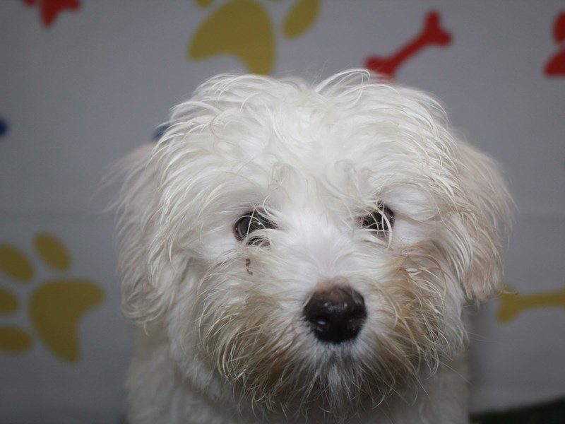 Maltese-Male-WHITE-2957913-Pet City Houston