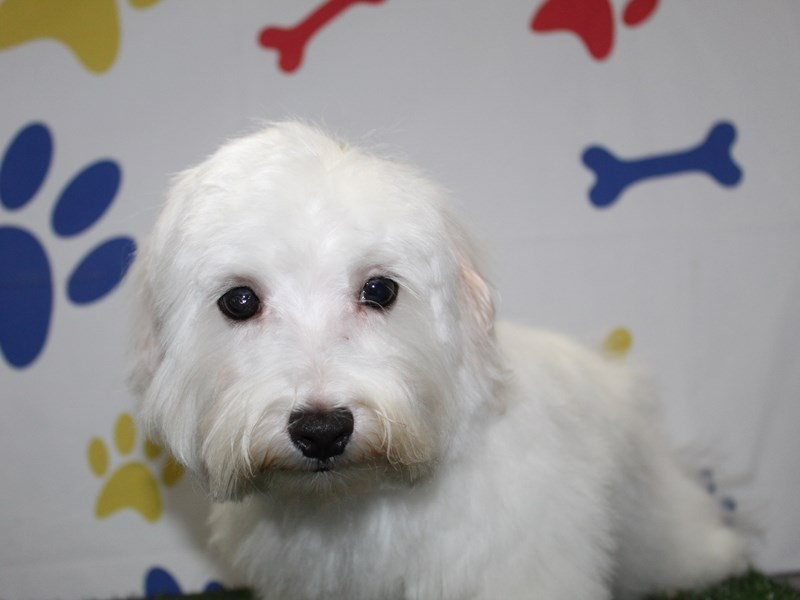 Maltese-Male-WHITE-2869012-Pet City Houston