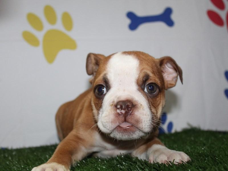 English Bulldog-Male-FAWN/ WHT-2966252-Pet City Houston