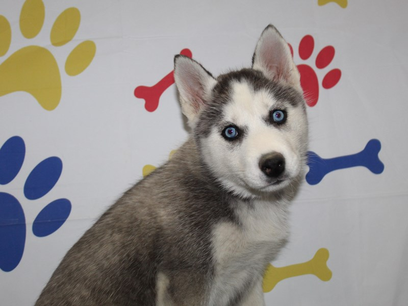 Siberian Husky-Female-BLK/ WHT-2966320-Pet City Houston