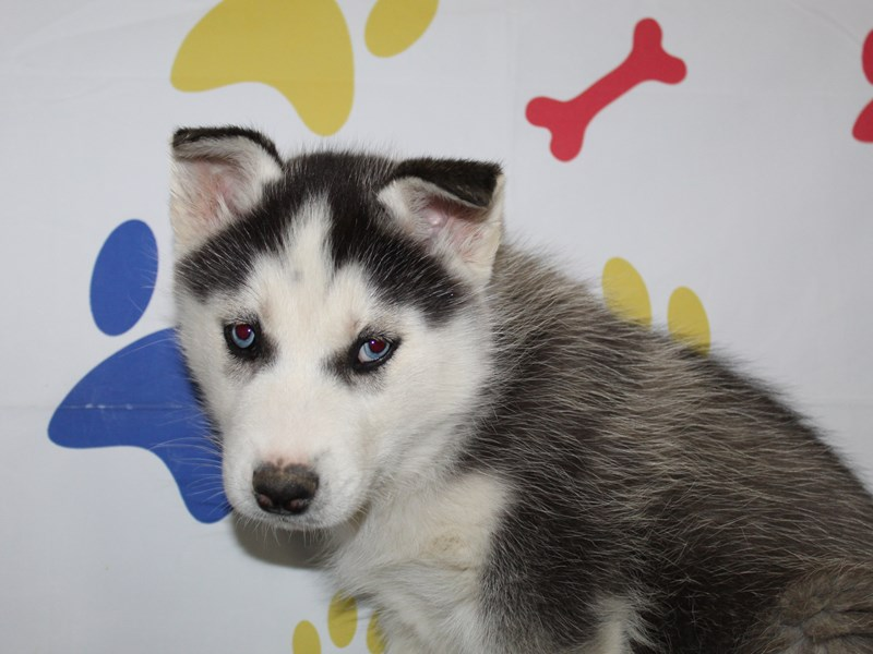Siberian Husky-Male-BLK/ WHT-2966316-Pet City Houston