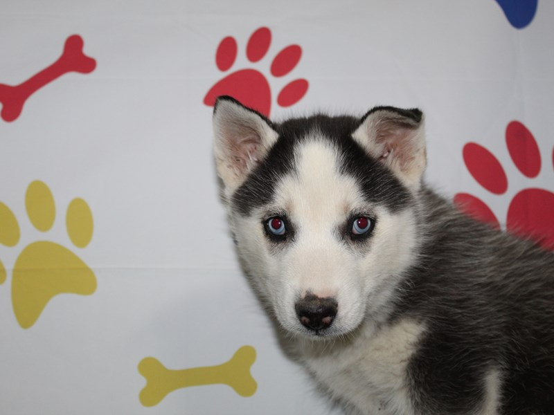 Siberian Husky-Male-BLK/ WHT-2966310-Pet City Houston