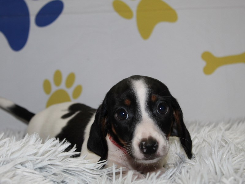 Dachshund-Female-BLK TAN PIE DPL-2965324-Pet City Houston
