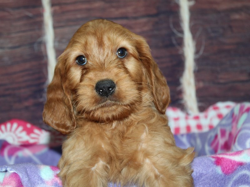 Mini Irish Doodle-Male-Red-2973826-Pet City Houston