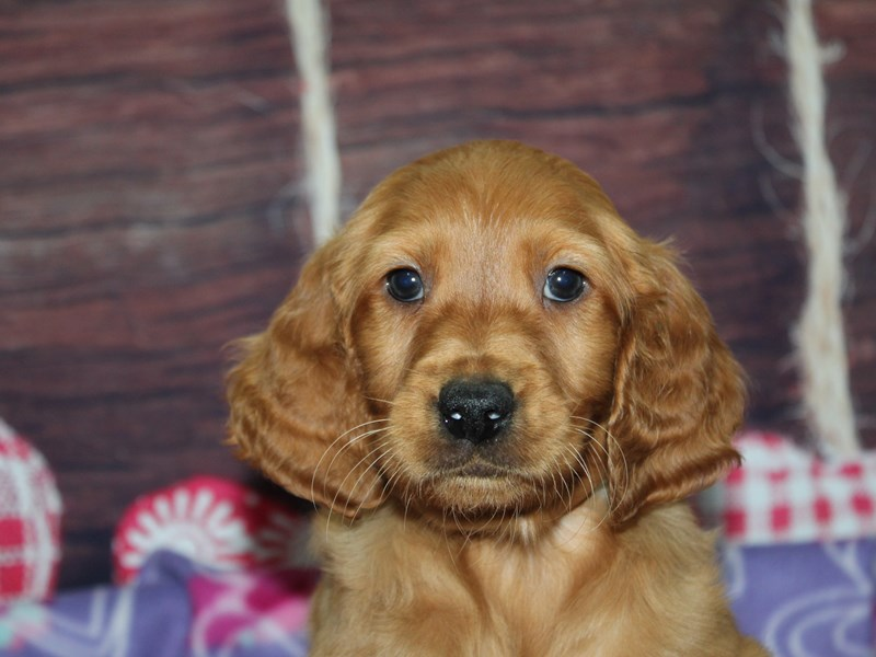 Mini Irish Doodle-Male-Red-2973825-Pet City Houston
