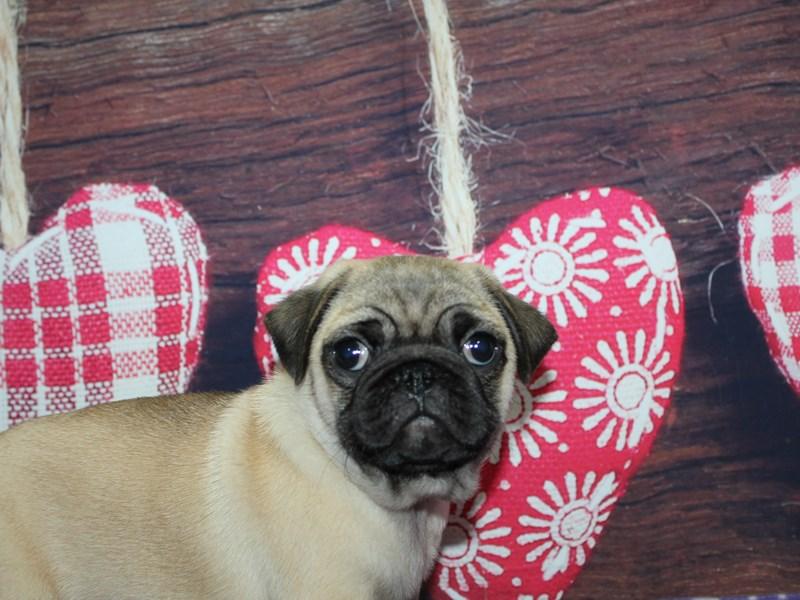 Pug-Male-Fawn-2974054-Pet City Houston