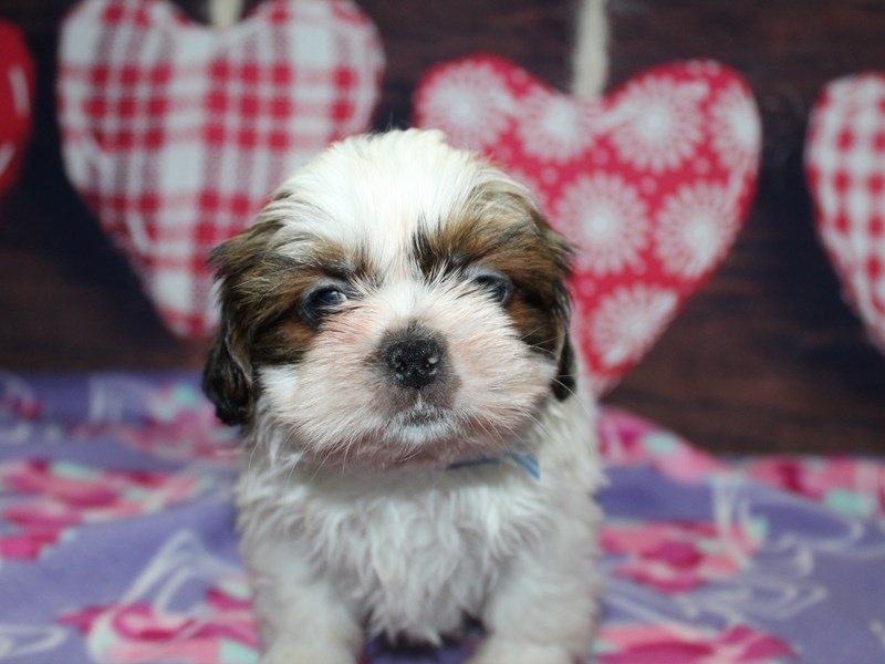 Shih Tzu-Male-TRI-2973859-Pet City Houston