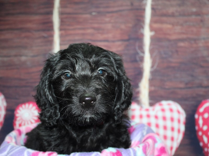 Goldendoodle-Female-BLACK-2972173-Pet City Houston