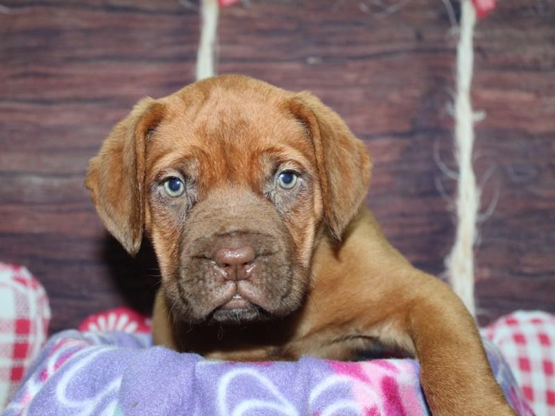 Dogue De Bordeaux-Female-Red-2973822-Pet City Houston