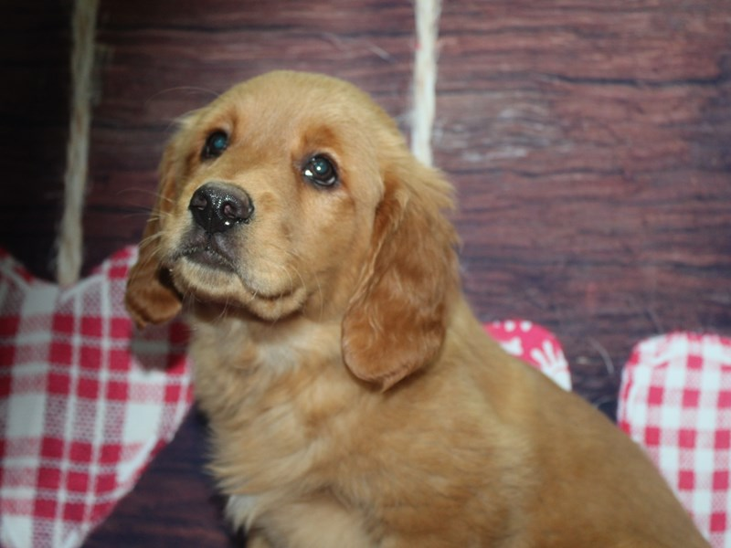 Golden Retriever-Male-GOLDEN-2981786-Pet City Houston
