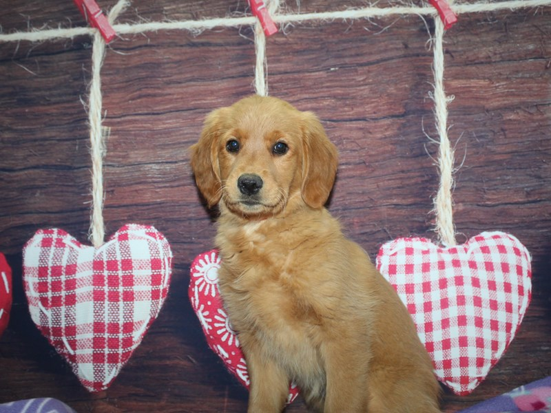 Golden Retriever-Female-GOLDEN-2981785-Pet City Houston