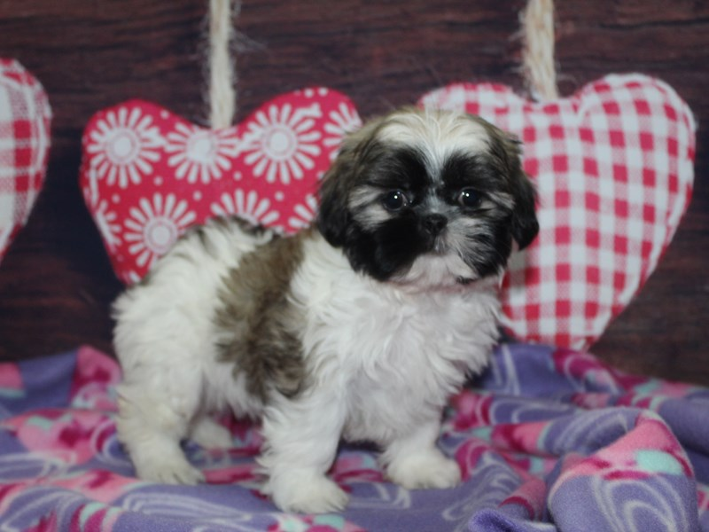 Shih Tzu-Female-BRINDL WHT-2981777-Pet City Houston