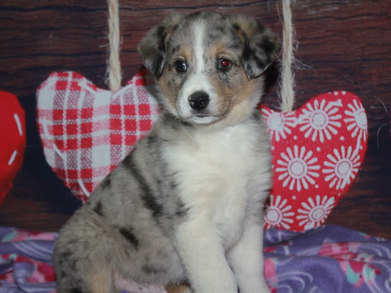 Miniature Australian Shepherd-Male-Blue Merle-2982652-Pet City Houston