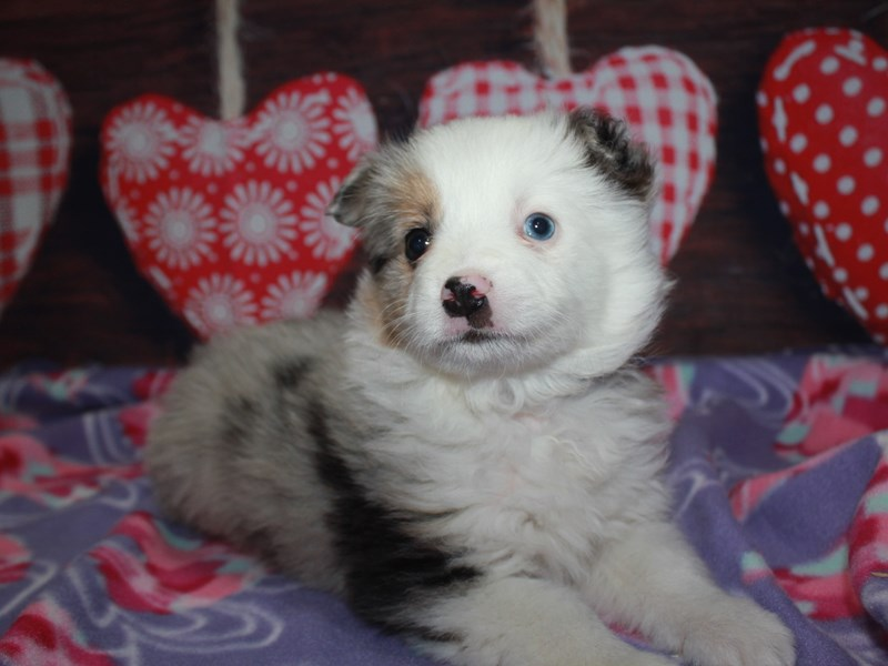 Miniature Australian Shepherd-Male-Blue Merle-2982662-Pet City Houston