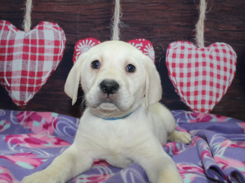 Labrador Retriever-Male-YELLOW-2981776-Pet City Houston