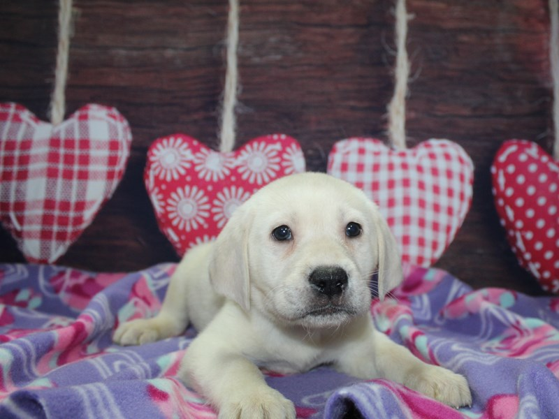 Labrador Retriever-Male-YELLOW-2981767-Pet City Houston
