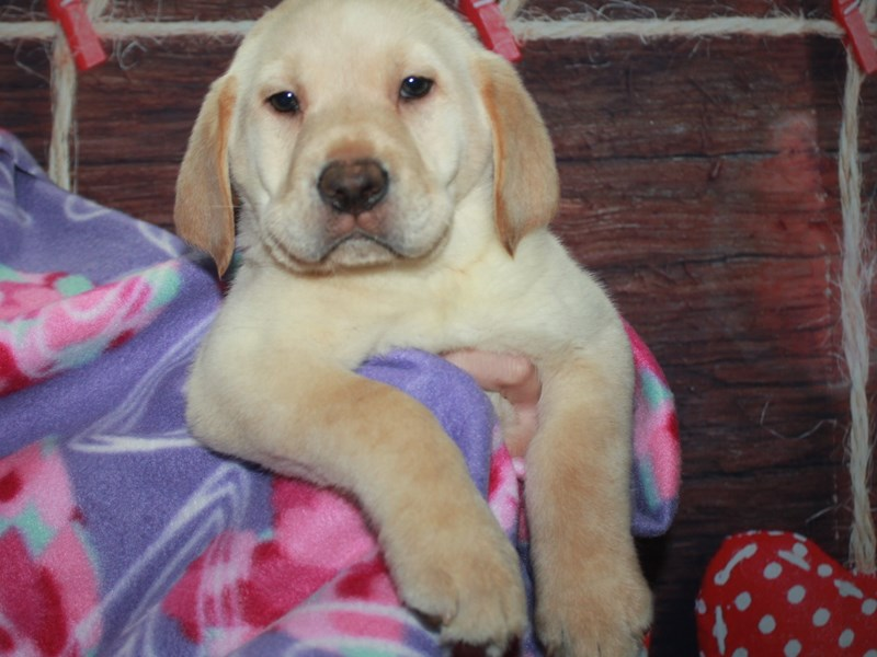 Labrador Retriever-Male-YELLOW-2981774-Pet City Houston