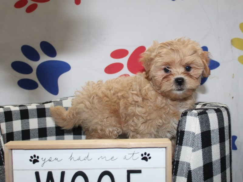Shih-Poo-Female-APCT WHT MKGS-2997923-Pet City Houston